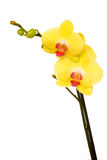 Amarillee la orquídea Foto de archivo libre de regalías