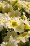 Amarillee la petunia Imagenes de archivo