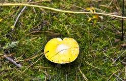 Amarillee la seta del amantia en bosque del otoño Fotografía de archivo