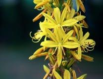 Amarillee las flores Fotografía de archivo libre de regalías
