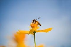 Amarillee las flores del cosmos y la abeja de la miel Foto de archivo