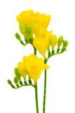 Amarillee las flores del freesia aisladas en blanco Imagen de archivo