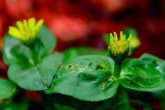 Amarillee las flores en la floración Fotos de archivo