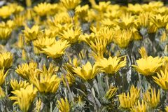 Amarillee las flores en la floración Imagenes de archivo