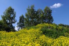 Amarillee las flores y los Abedul-árboles del campo en la colina Imágenes de archivo libres de regalías
