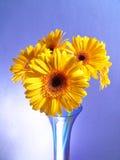 Amarillee las margaritas del Gerbera Foto de archivo libre de regalías