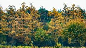 Amarillee los árboles de pino coloreados en bosque durante otoño Fotografía de archivo