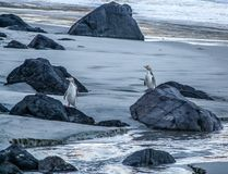Amarillee los pingüinos observados en la playa, Otago, Nueva Zelanda imagenes de archivo