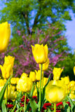 amarillee los tulipanes Imagenes de archivo
