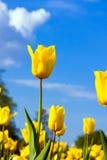 Amarillee los tulipanes Foto de archivo libre de regalías