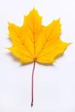 Amarillento - hoja de arce anaranjada Imagen de archivo libre de regalías