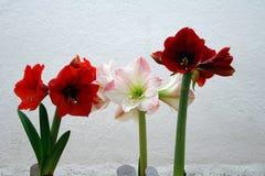Amarillide rosso e bianco su fondo bianco Fotografie Stock