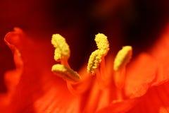 amarillis Стоковые Изображения RF