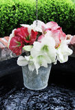 Amarillis flower Royalty Free Stock Photo
