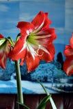 Amarillis rossi fiore, macro Fotografia Stock Libera da Diritti