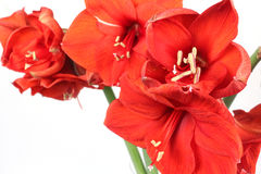 Amarillisbloemen op de witte achtergrond Royalty-vrije Stock Fotografie