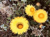 amarillo Imagen de archivo