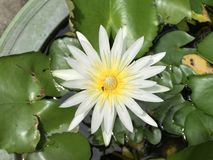 Amarillo acuático de la flor blanca de Lotus Imagenes de archivo
