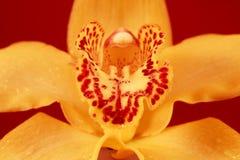 Amarillo anaranjado de la orquídea y phalaenopsis rayado rosado Primer Fotografía de archivo