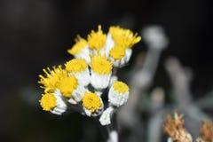 Amarillo - blanco Fotografía de archivo libre de regalías
