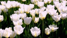 Amarillo blanco del verano de los tulipanes hermosos de las flores almacen de metraje de vídeo