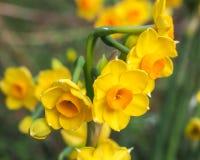 Amarillo brillante y naranja 4 de los junquillos Fotos de archivo libres de regalías
