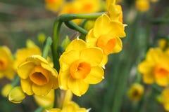 Amarillo brillante y naranja 1 de los junquillos Foto de archivo