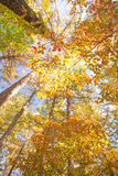 Amarillo colorido hermoso de los árboles del otoño Imagenes de archivo