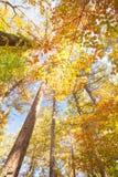 Amarillo colorido hermoso de los árboles del otoño Foto de archivo libre de regalías