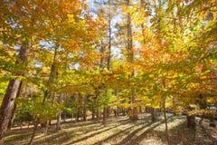 Amarillo colorido hermoso de los árboles del otoño Imagen de archivo libre de regalías