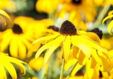 Amarillo Coneflower de Paradoxa del Echinacea imagen de archivo