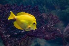 Amarillo coralino brillante de Zebrasoma de los pescados en el acuario fotografía de archivo