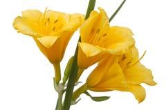 Amarillo daylily Fotografía de archivo libre de regalías