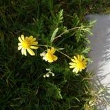 Amarillo de Amarillas de la flor de Flores foto de archivo libre de regalías