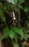 Amarillo de la araña fotografía de archivo libre de regalías