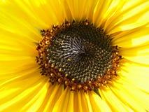 Amarillo de la flor Foto de archivo libre de regalías
