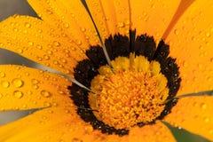 Amarillo de la flor Imágenes de archivo libres de regalías
