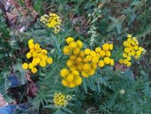 Amarillo de la flor Imagen de archivo libre de regalías
