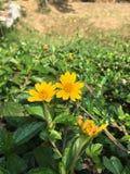 Amarillo de la flor Fotografía de archivo