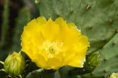 Amarillo de la flor del cactus del higo chumbo Imagenes de archivo
