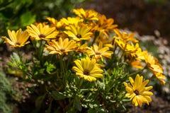 Amarillo de la margarita Imagenes de archivo