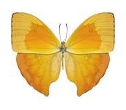 Amarillo de la mariposa Foto de archivo libre de regalías