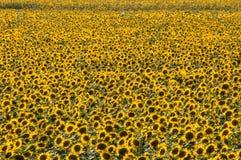Amarillo amarillo de la naturaleza de la primavera del girasol imagenes de archivo