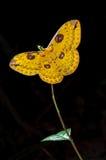 Amarillo de la polilla Fotografía de archivo libre de regalías