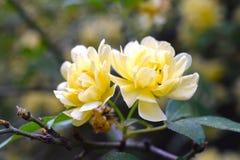Amarillo de la rosa de señora Banks Fotos de archivo libres de regalías
