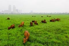 Amarillo de la vaca en prado verde Foto de archivo libre de regalías