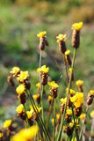 Amarillo de las flores Fotografía de archivo libre de regalías