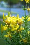 Amarillo de las flores Foto de archivo