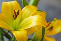 Amarillo de Liliums Fotos de archivo