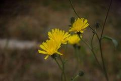 Amarillo de los fondos de la flor Imagen de archivo libre de regalías